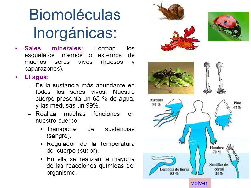 Biomoléculas Inorgánicas: Sales minerales: Forman los esqueletos internos o externos de muchos seres vivos (huesos y caparazones). El agua: –Es la sus