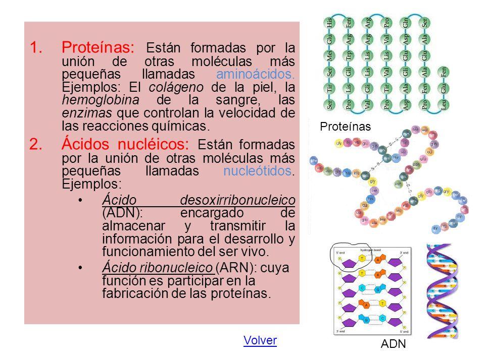 1.Proteínas: Están formadas por la unión de otras moléculas más pequeñas llamadas aminoácidos. Ejemplos: El colágeno de la piel, la hemoglobina de la