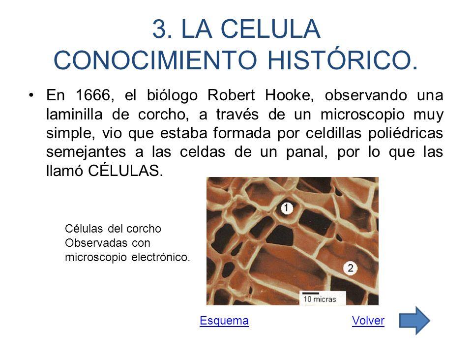 3. LA CELULA CONOCIMIENTO HISTÓRICO. En 1666, el biólogo Robert Hooke, observando una laminilla de corcho, a través de un microscopio muy simple, vio