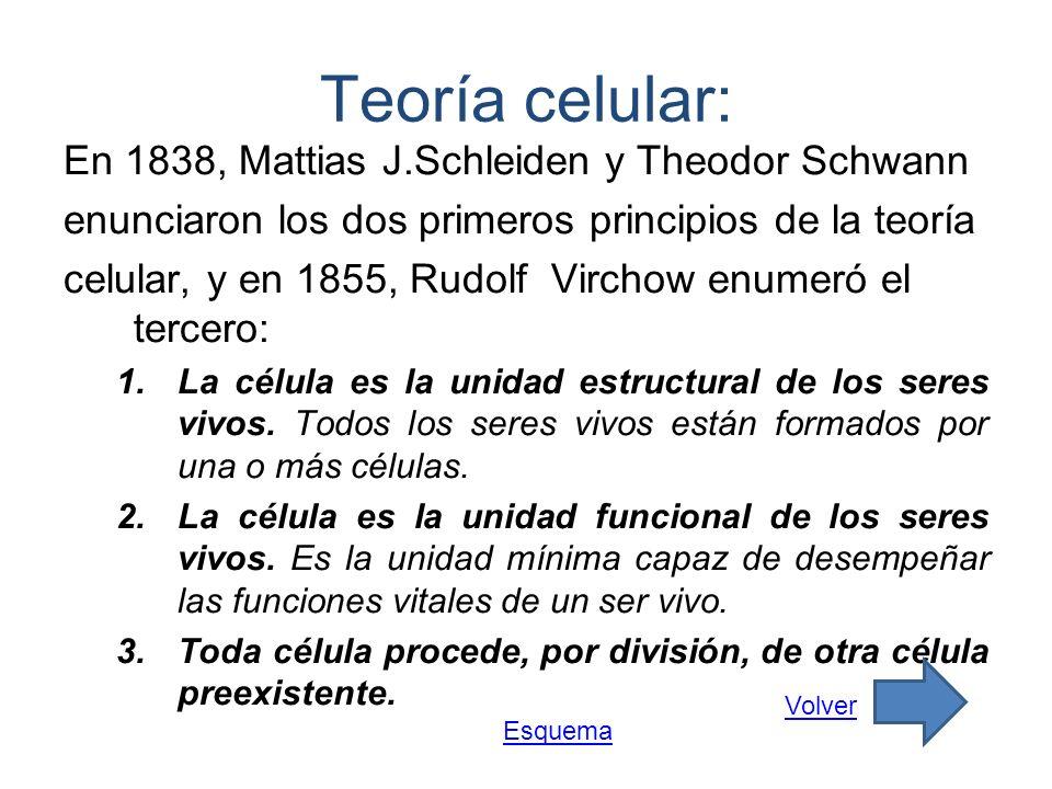 Teoría celular: En 1838, Mattias J.Schleiden y Theodor Schwann enunciaron los dos primeros principios de la teoría celular, y en 1855, Rudolf Virchow