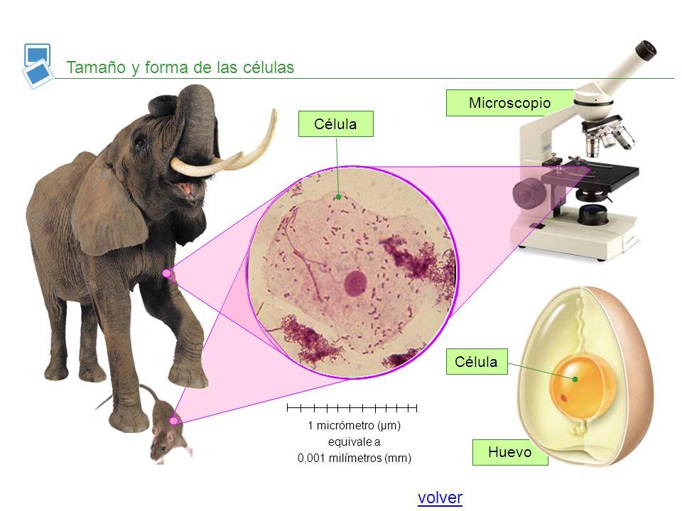 Huevo Microscopio Tamaño y forma de las células Célula 1 micrómetro (μm) equivale a 0,001 milímetros (mm) volver