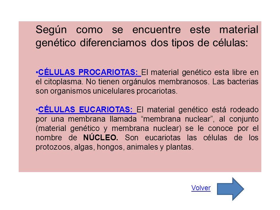 Según como se encuentre este material genético diferenciamos dos tipos de células: CÉLULAS PROCARIOTAS: El material genético esta libre en el citoplas