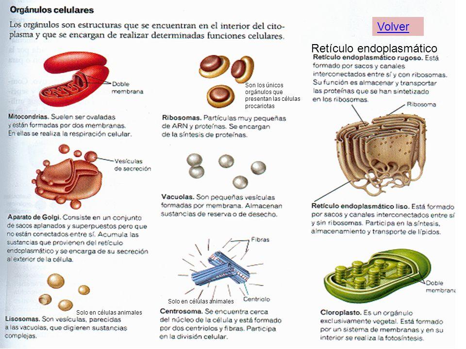 Solo en células animales Retículo endoplasmático Son los únicos orgánulos que presentan las células procariotas