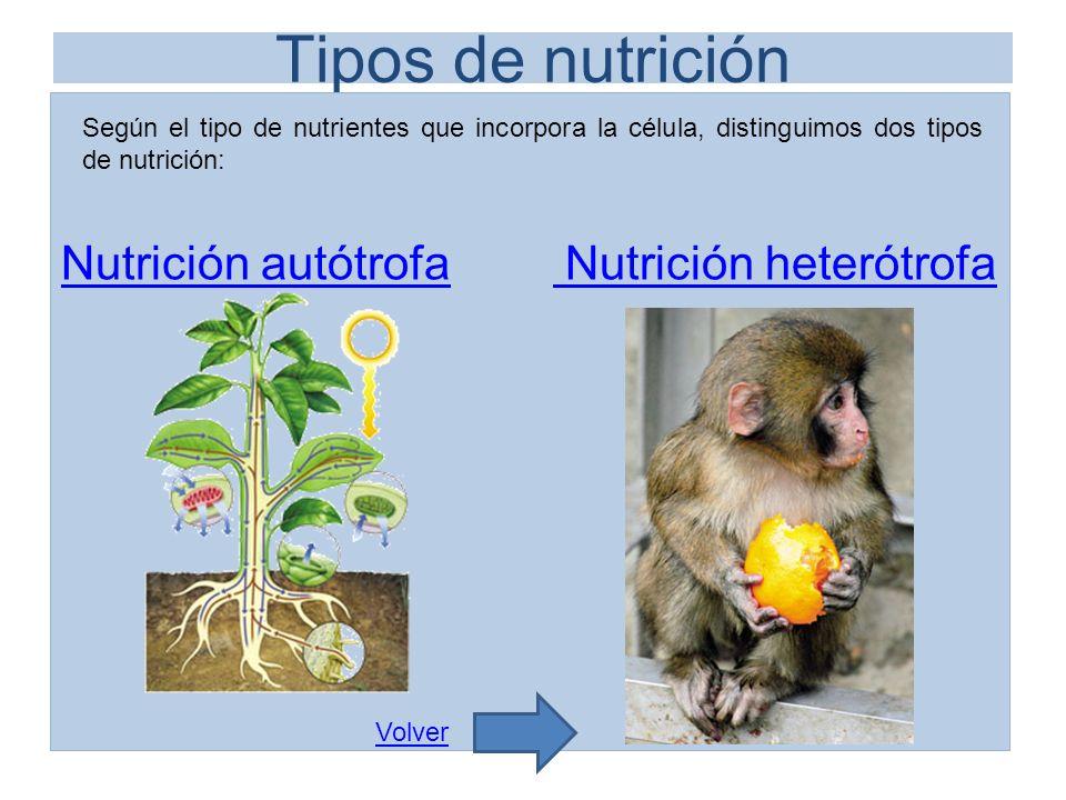 Tipos de nutrición Nutrición autótrofaNutrición autótrofa Nutrición heterótrofa Nutrición heterótrofa Según el tipo de nutrientes que incorpora la cél