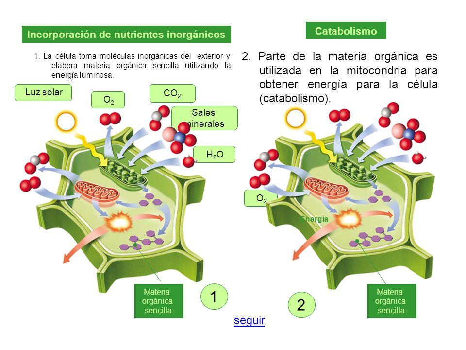 1. La célula toma moléculas inorgánicas del exterior y elabora materia orgánica sencilla utilizando la energía luminosa. 2. Parte de la materia orgáni