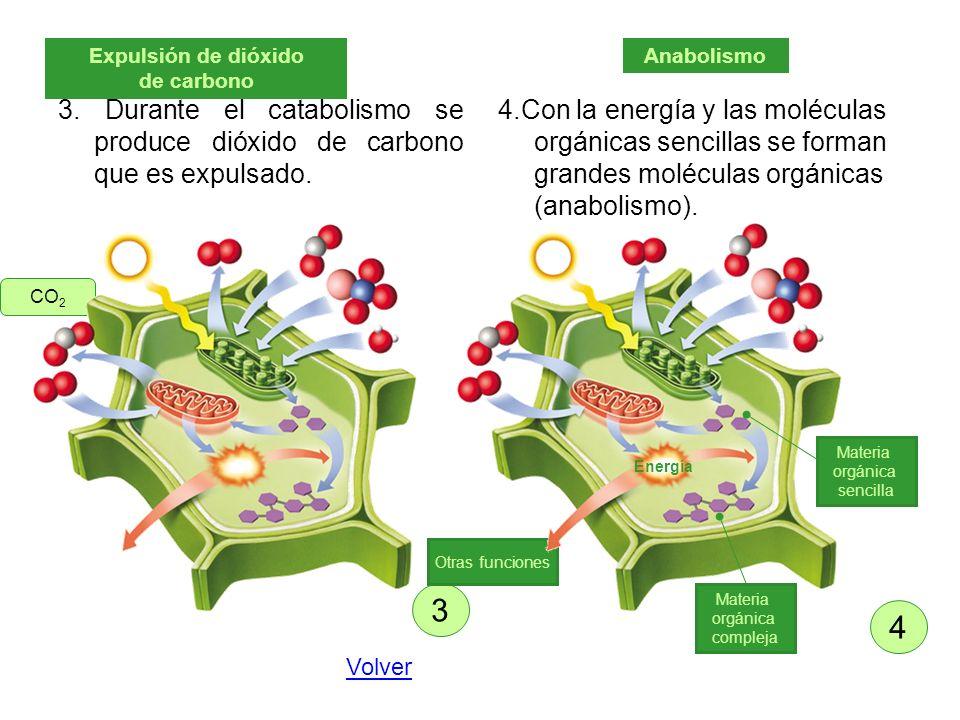 3. Durante el catabolismo se produce dióxido de carbono que es expulsado. 4.Con la energía y las moléculas orgánicas sencillas se forman grandes moléc