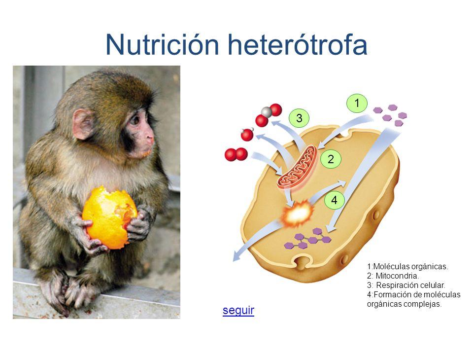 1:Moléculas orgánicas. 2: Mitocondria. 3: Respiración celular. 4:Formación de moléculas orgánicas complejas. 1 2 3 4 Nutrición heterótrofa seguir