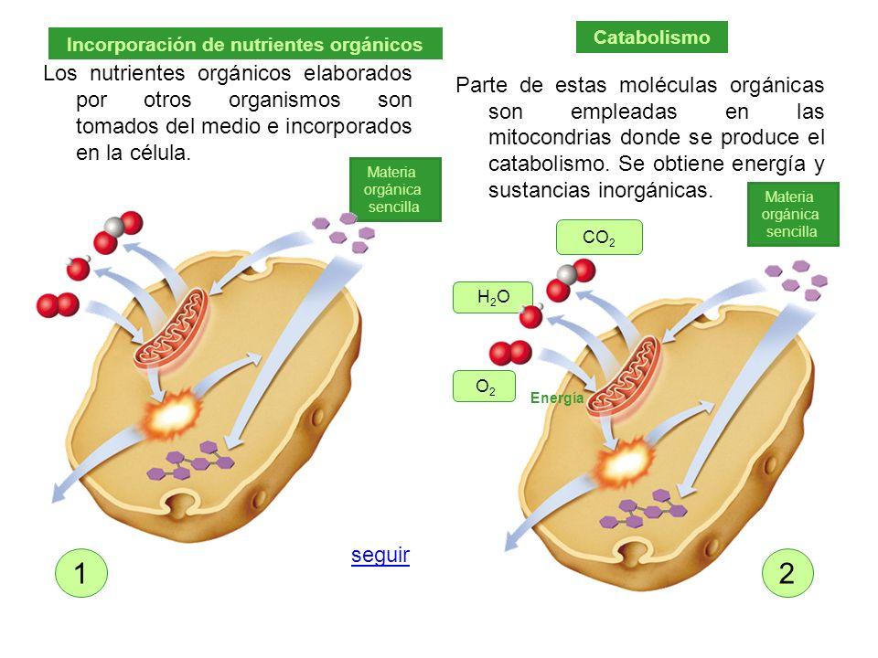 Los nutrientes orgánicos elaborados por otros organismos son tomados del medio e incorporados en la célula. Parte de estas moléculas orgánicas son emp