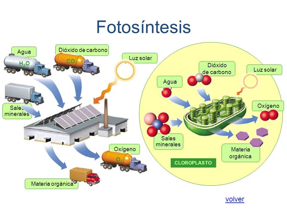 Materia orgánica Oxígeno Sales minerales Agua Luz solar Dióxido de carbono CO 2 H2OH2O O2O2 Dióxido de carbono Agua Sales minerales Materia orgánica O