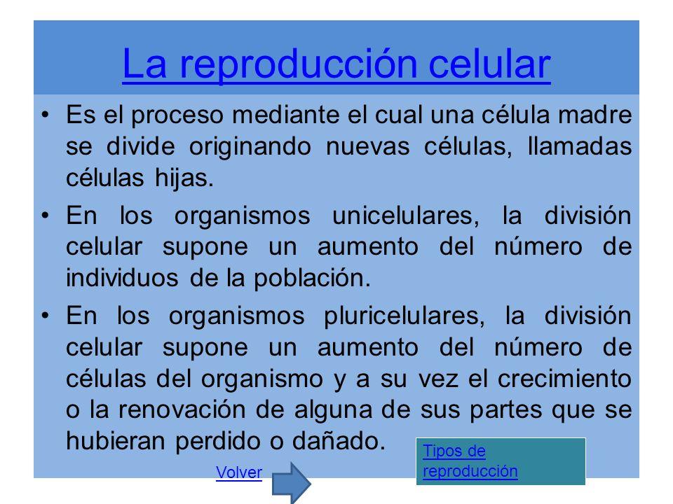 La reproducción celular Es el proceso mediante el cual una célula madre se divide originando nuevas células, llamadas células hijas. En los organismos