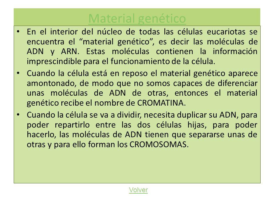 Material genético En el interior del núcleo de todas las células eucariotas se encuentra el material genético, es decir las moléculas de ADN y ARN. Es