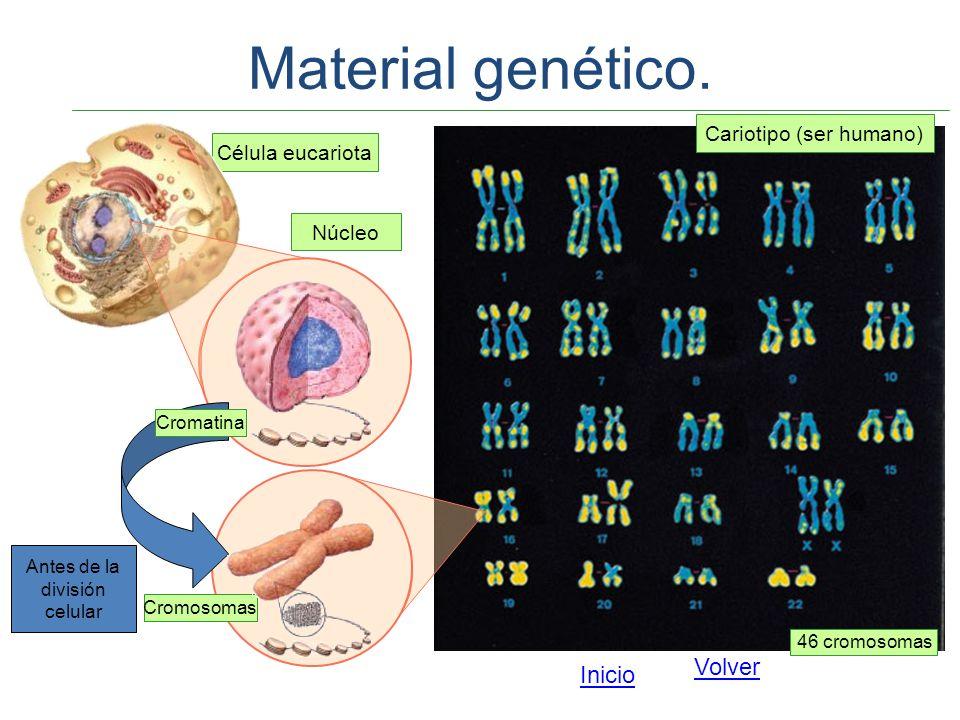 Célula eucariota Núcleo Cariotipo (ser humano) Cromatina Antes de la división celular Cromosomas 46 cromosomas Material genético. Volver Inicio