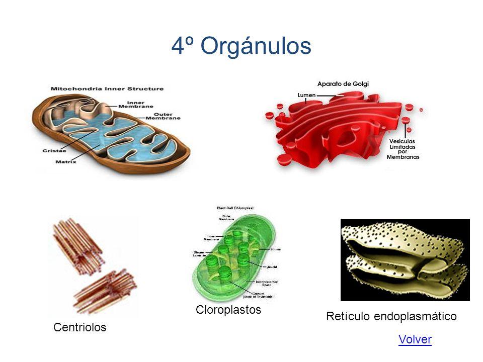 Tipos de metabolismo 2º Anabolismo: Comprende los procesos que convierten las sustancias pequeñas y sencillas, en sustancias orgánicas complejas propias de la célula, que utiliza para crecer y para reponer estructuras dañadas o perdidas.