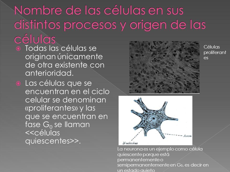 Todas las células se originan únicamente de otra existente con anterioridad. Las células que se encuentran en el ciclo celular se denominan «prolifera