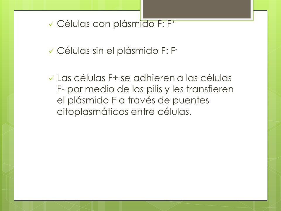 Células con plásmido F: F + Células sin el plásmido F: F - Las células F+ se adhieren a las células F- por medio de los pilis y les transfieren el plásmido F a través de puentes citoplasmáticos entre células.