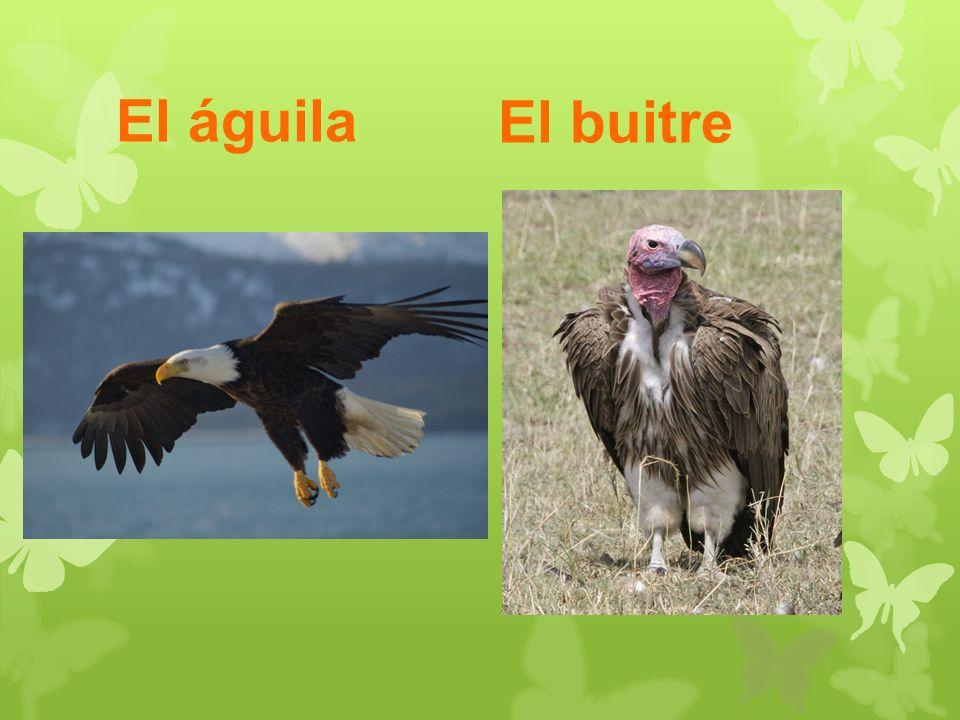 El águila El buitre