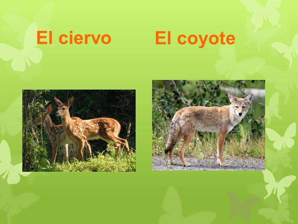 El ciervo El coyote