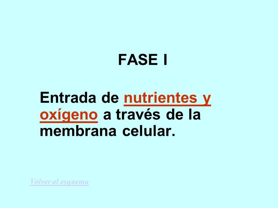 FASE I Entrada de nutrientes y oxígeno a través de la membrana celular. Volver al esquema