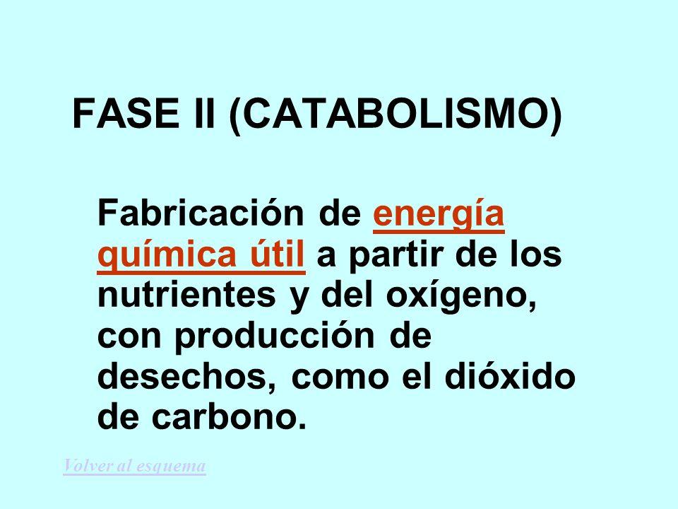 FASE II (CATABOLISMO) Fabricación de energía química útil a partir de los nutrientes y del oxígeno, con producción de desechos, como el dióxido de carbono.