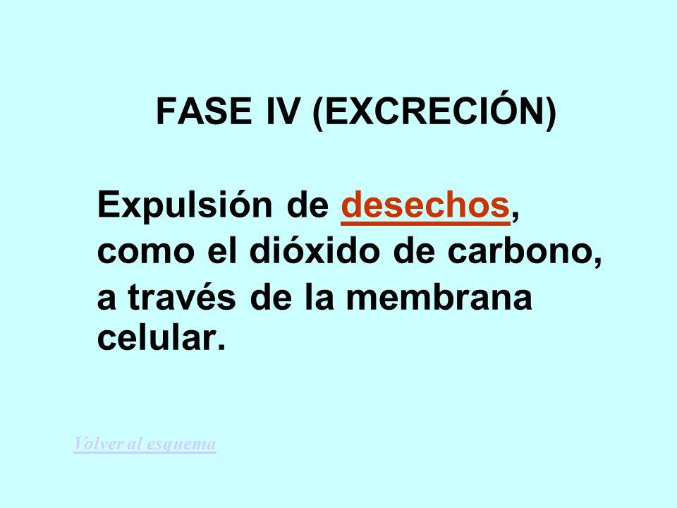 FASE IV (EXCRECIÓN) Expulsión de desechos, como el dióxido de carbono, a través de la membrana celular.