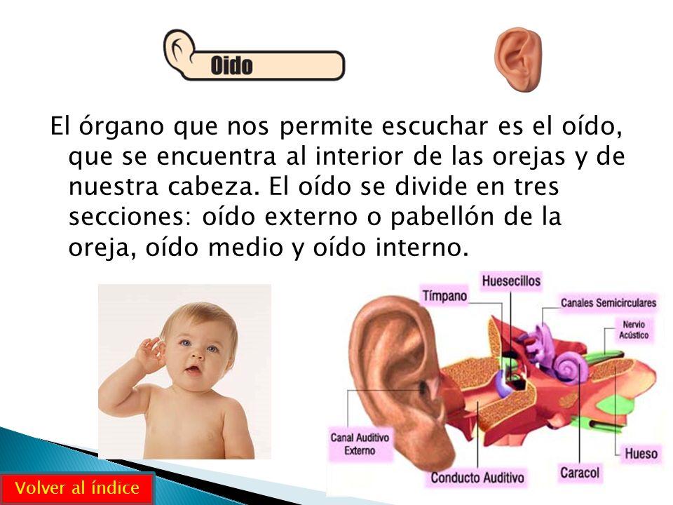 El órgano que nos permite escuchar es el oído, que se encuentra al interior de las orejas y de nuestra cabeza. El oído se divide en tres secciones: oí