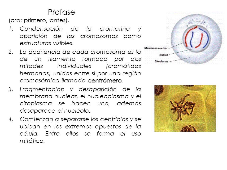 Profase (pro: primero, antes). 1.Condensación de la cromatina y aparición de los cromosomas como estructuras visibles. centrómero 2.La apariencia de c