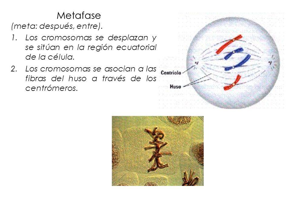 Metafase (meta: después, entre). 1.Los cromosomas se desplazan y se sitúan en la región ecuatorial de la célula. 2.Los cromosomas se asocian a las fib