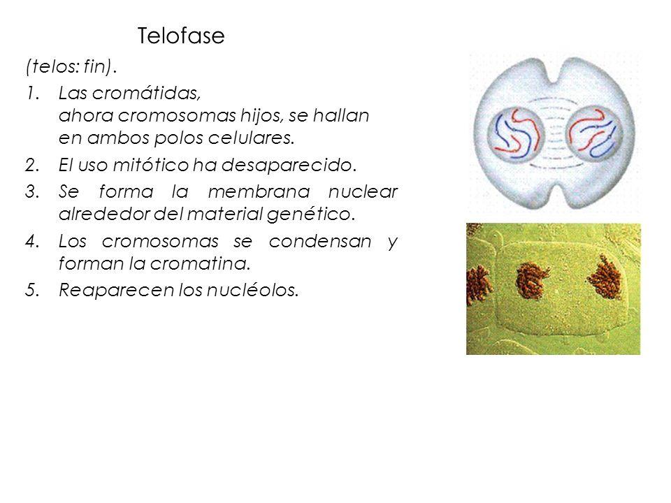 Telofase (telos: fin). 1.Las cromátidas, ahora cromosomas hijos, se hallan en ambos polos celulares. 2.El uso mitótico ha desaparecido. 3.Se forma la
