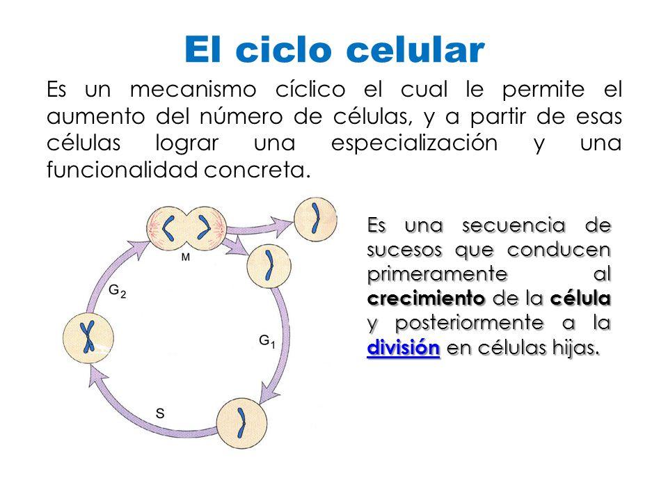 El ciclo celular Es un mecanismo cíclico el cual le permite el aumento del número de células, y a partir de esas células lograr una especialización y