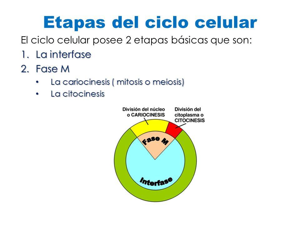 Etapas del ciclo celular El ciclo celular posee 2 etapas básicas que son: 1.La interfase 2.Fase M La cariocinesis ( mitosis o meiosis) La cariocinesis