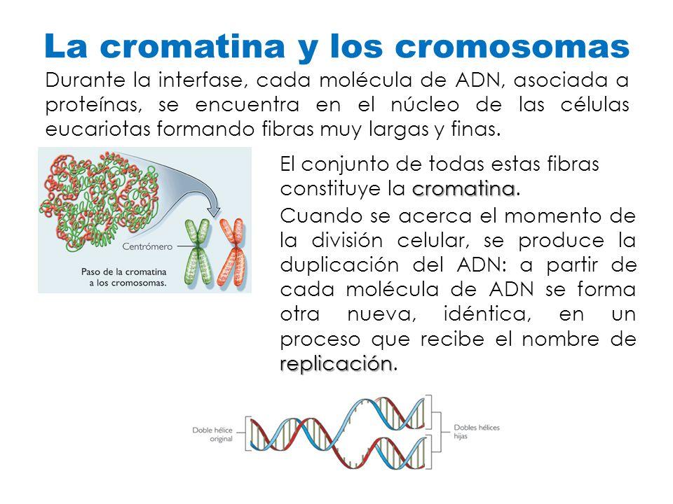 La cromatina y los cromosomas Durante la interfase, cada molécula de ADN, asociada a proteínas, se encuentra en el núcleo de las células eucariotas fo