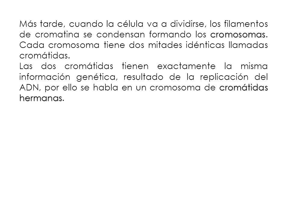 cromosomas Más tarde, cuando la célula va a dividirse, los filamentos de cromatina se condensan formando los cromosomas. Cada cromosoma tiene dos mita