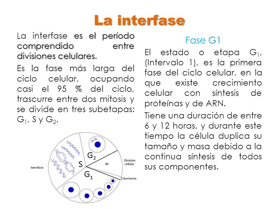 La interfase es el período comprendido entre divisiones celulares La interfase es el período comprendido entre divisiones celulares. Es la fase más la