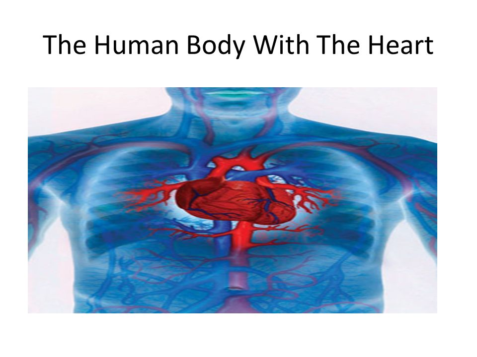 The Human Body With The Heart