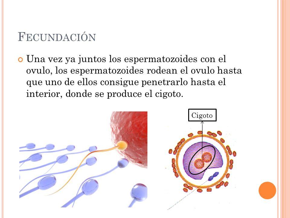 F ECUNDACIÓN Una vez ya juntos los espermatozoides con el ovulo, los espermatozoides rodean el ovulo hasta que uno de ellos consigue penetrarlo hasta