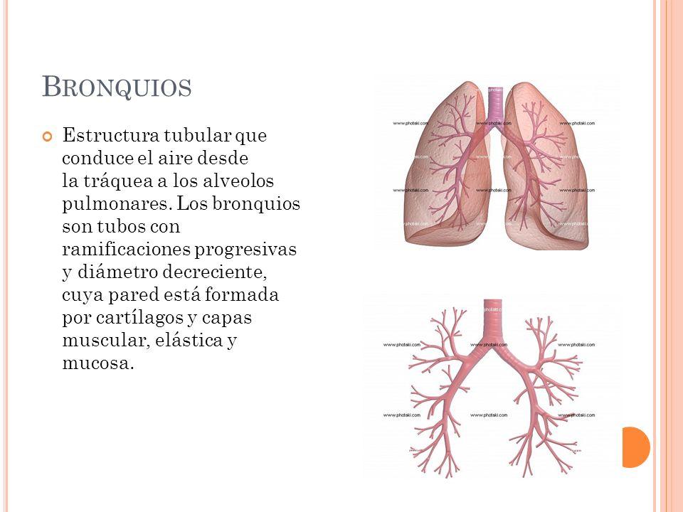 B RONQUIOS Estructura tubular que conduce el aire desde la tráquea a los alveolos pulmonares. Los bronquios son tubos con ramificaciones progresivas y