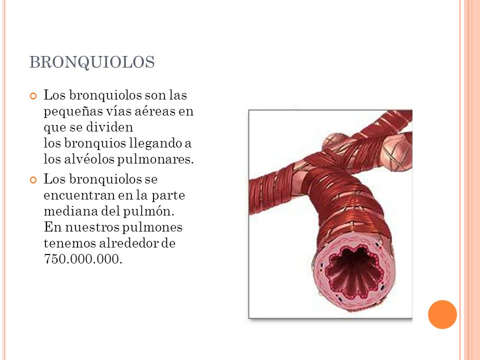 BRONQUIOLOS Los bronquiolos son las pequeñas vías aéreas en que se dividen los bronquios llegando a los alvéolos pulmonares. Los bronquiolos se encuen