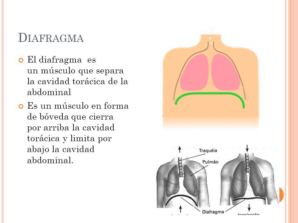 D IAFRAGMA El diafragma es un músculo que separa la cavidad torácica de la abdominal Es un músculo en forma de bóveda que cierra por arriba la cavidad