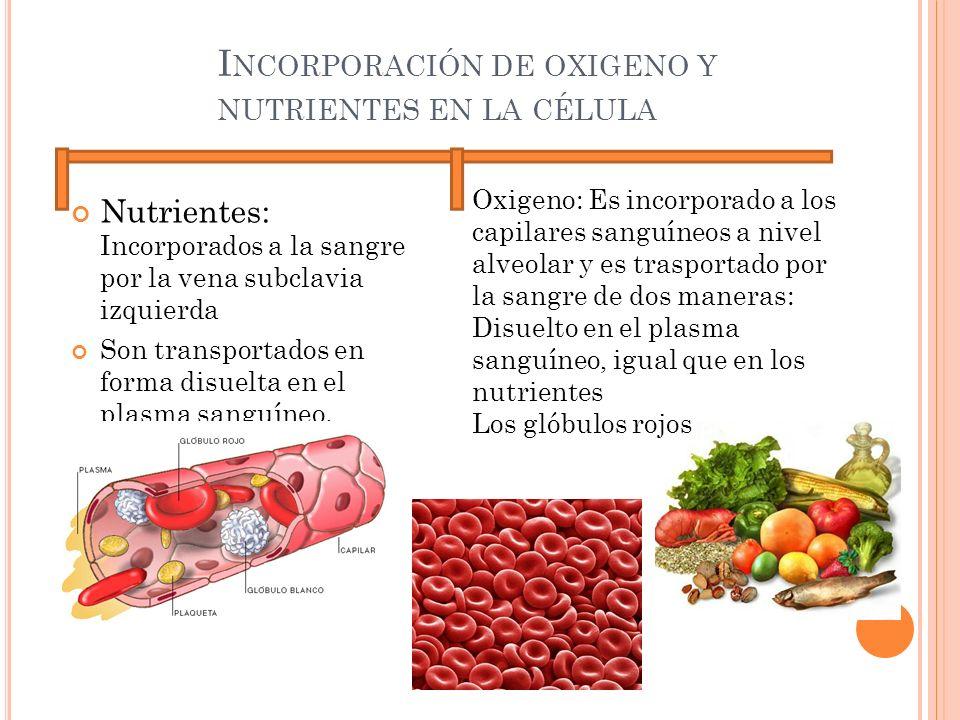 I NCORPORACIÓN DE OXIGENO Y NUTRIENTES EN LA CÉLULA Nutrientes: Incorporados a la sangre por la vena subclavia izquierda Son transportados en forma di
