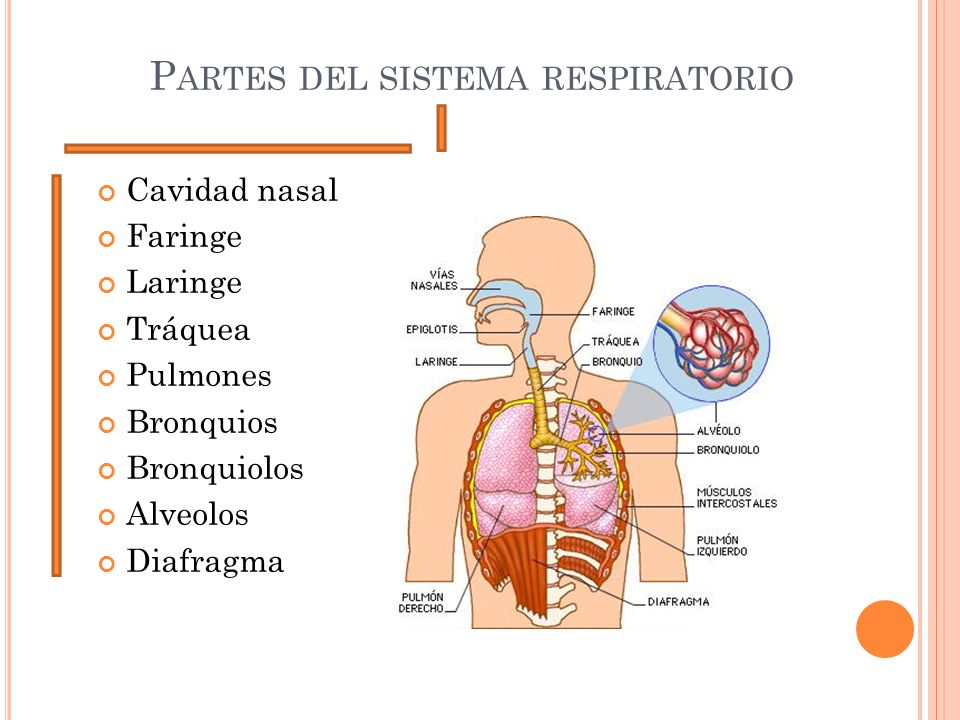 P ARTES DEL SISTEMA RESPIRATORIO Cavidad nasal Faringe Laringe Tráquea Pulmones Bronquios Bronquiolos Alveolos Diafragma
