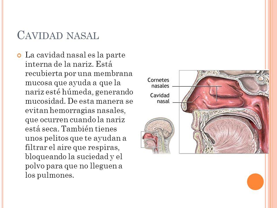 C AVIDAD NASAL La cavidad nasal es la parte interna de la nariz. Está recubierta por una membrana mucosa que ayuda a que la nariz esté húmeda, generan