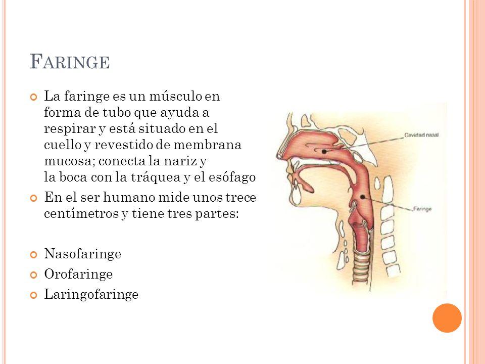 F ARINGE La faringe es un músculo en forma de tubo que ayuda a respirar y está situado en el cuello y revestido de membrana mucosa; conecta la nariz y