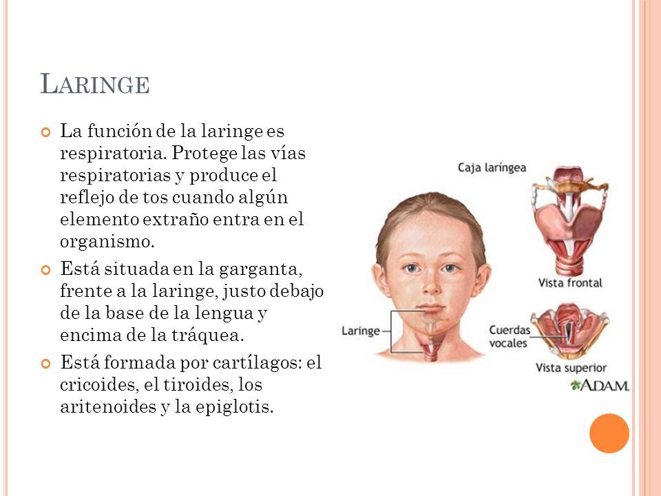 L ARINGE La función de la laringe es respiratoria. Protege las vías respiratorias y produce el reflejo de tos cuando algún elemento extraño entra en e