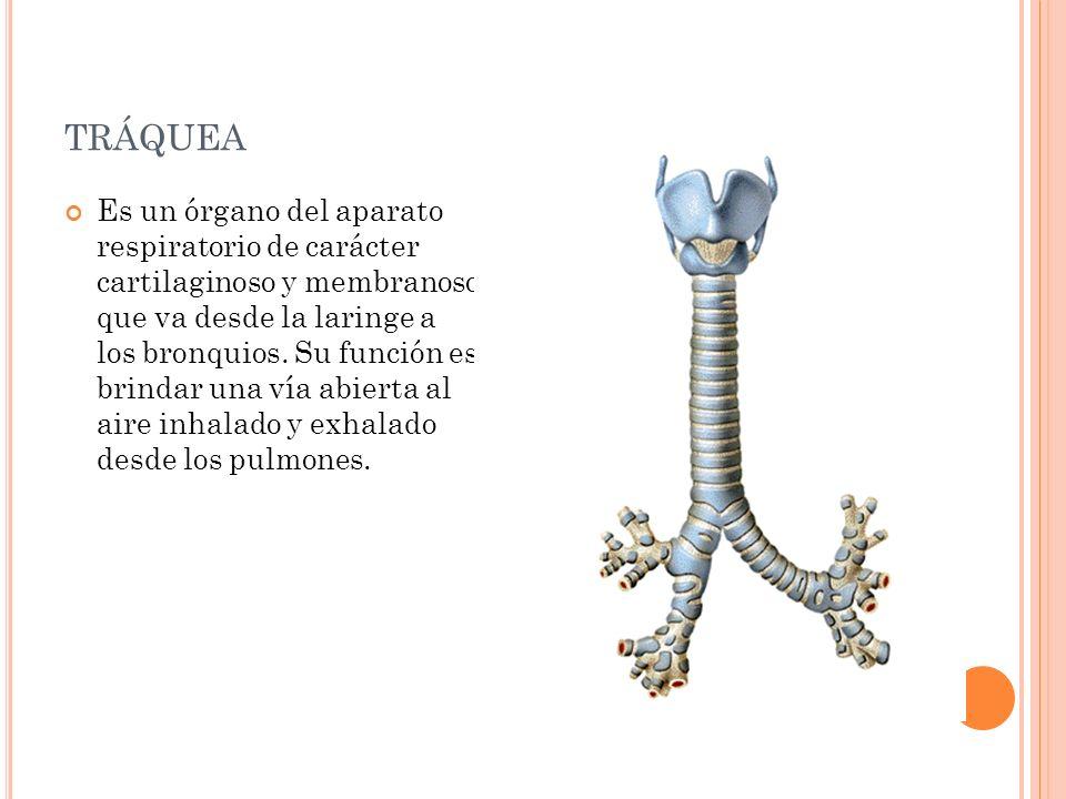 TRÁQUEA Es un órgano del aparato respiratorio de carácter cartilaginoso y membranoso que va desde la laringe a los bronquios. Su función es brindar un