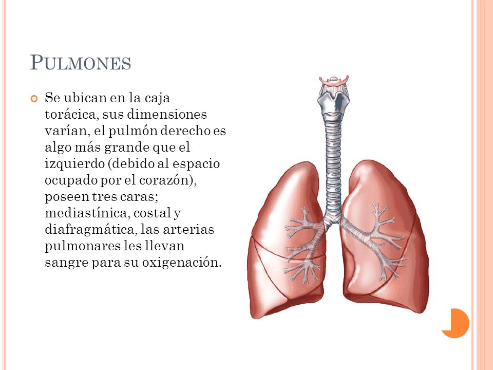 P ULMONES Se ubican en la caja torácica, sus dimensiones varían, el pulmón derecho es algo más grande que el izquierdo (debido al espacio ocupado por