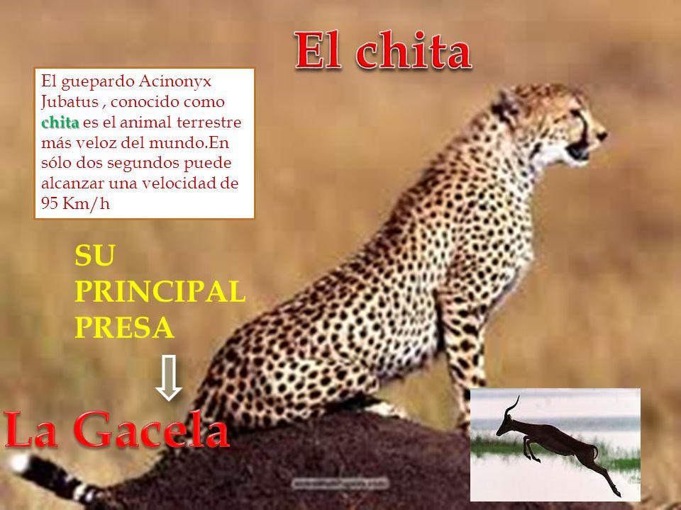 chita El guepardo Acinonyx Jubatus, conocido como chita es el animal terrestre más veloz del mundo.En sólo dos segundos puede alcanzar una velocidad d