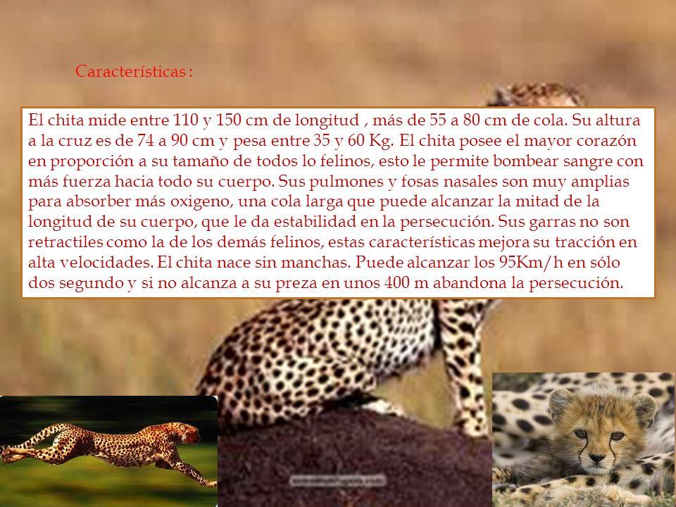 Características : El chita mide entre 110 y 150 cm de longitud, más de 55 a 80 cm de cola. Su altura a la cruz es de 74 a 90 cm y pesa entre 35 y 60 K