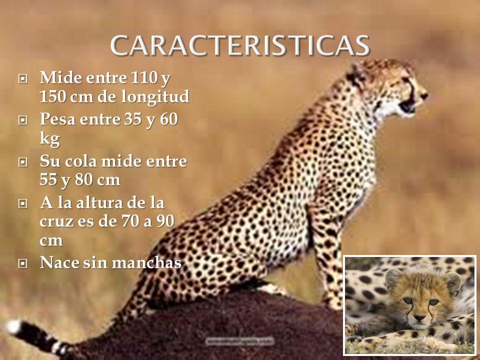 Mide entre 110 y 150 cm de longitud Mide entre 110 y 150 cm de longitud Pesa entre 35 y 60 kg Pesa entre 35 y 60 kg Su cola mide entre 55 y 80 cm Su c