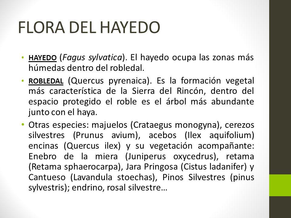 FLORA DEL HAYEDO HAYEDO (Fagus sylvatica).