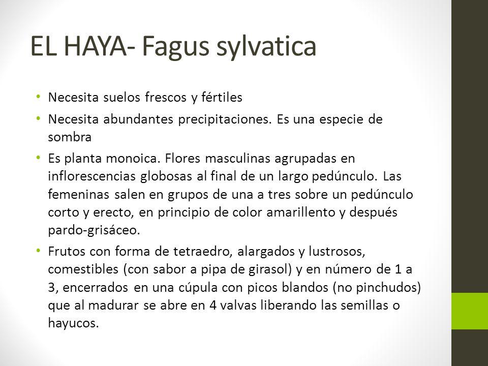 EL HAYA- Fagus sylvatica Necesita suelos frescos y fértiles Necesita abundantes precipitaciones.